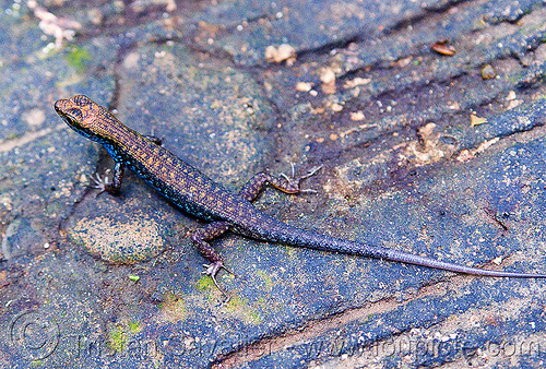 lizard - blue-throated litter skink (borneo), blue belly, blue-bellied, blue-throated, borneo, gunung mulu national park, litter skink, lizard, malaysia, sphenomorphus cyanolaemus, wildlife