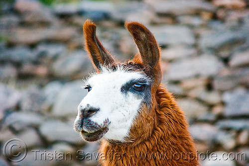 llama - close-up, head, lama glama, noroeste argentino