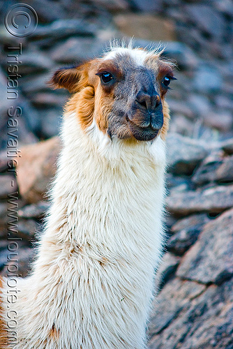 llama neck - close-up, head, lama glama, llama, neck, noroeste argentino