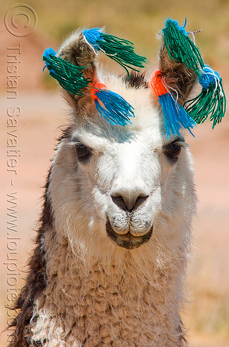 llama with color pompons, altiplano, carnival, colored, decorated, ears, head, noroeste argentino, pampa, pom-poms, pom-pons, pompon, quebrada de humahuaca, wool, stock photo