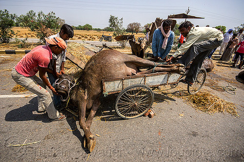 loading up on a tricycle the carcass of a water buffalo killed in a traffic accident (india), carcass, cargo tricycle, cow, crash, dead, freight tricycle, injured, loading, lying, men, road, rope, traffic accident, truck accident, tying, water buffalo