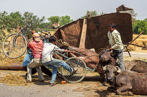 loading up on a tricycle a water buffalo injured in a traffic accident (india), cows, crash, india, injured, lying, men, road, traffic accident, trike, truck accident, water buffaloes