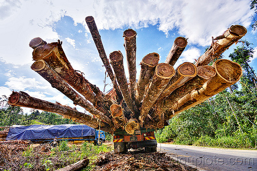 logging truck - tree logs, deforestation, environment, logging camp, logging truck, lorry, rain forest, road, tree logging, tree logs, tree trunks, trucks, vanishing point