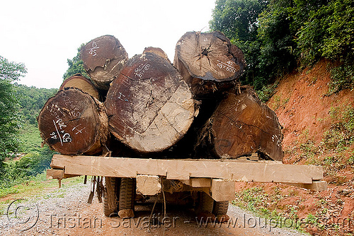 logging truck, convoy, deforestation, dirt road, log truck, logging trucks, lorry, timber, tree logging, tree logs, trees, unpaved, wood