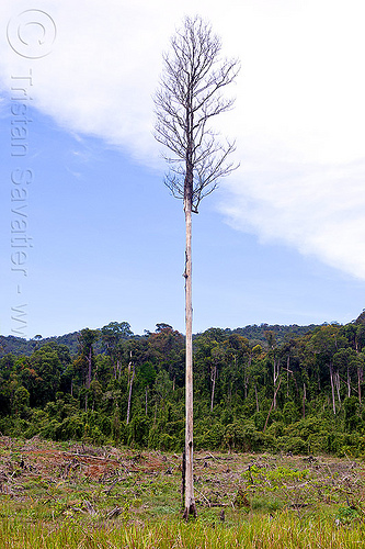 dead tree, clear cut, dead tree, deforestation, environment, logging, rain forest