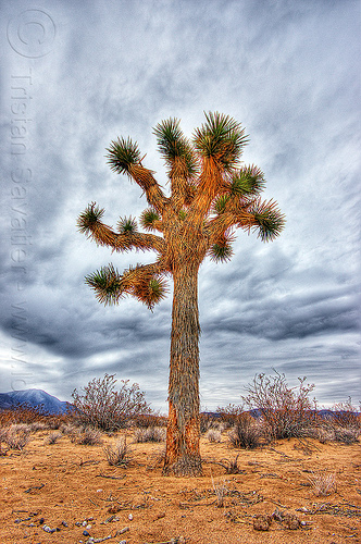 lone joshua tree in the desert (california), clouds, cloudy sky, death valley, joshua tree, sand, yucca brevifolia
