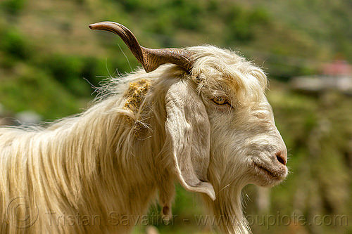 long-haired goat with goatee, capra aegagrus hircus, changthangi, goatee, herd, india, pashmina, wild goat, wildlife