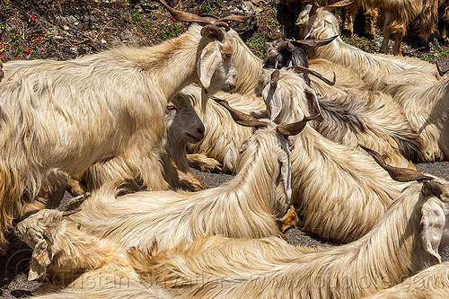 long-haired goats - himalayan goats, capra aegagrus hircus, changthangi, herd, india, lying down, pashmina, wild goats, wildlife