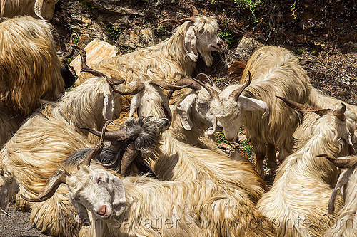 long-haired goats lying down - himalayan wild goats, capra aegagrus hircus, changthangi, herd, india, lying down, pashmina, wild goats, wildlife