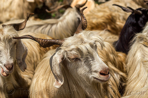 long-haired goats - wild, capra aegagrus hircus, changthangi, herd, pashmina, wild goats, wildlife