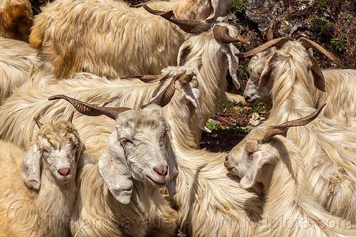 long-haired himalayan goats - wild, capra aegagrus hircus, changthangi, herd, pashmina, wild goats, wildlife