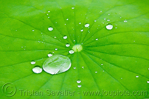 the lotus effect, close-up, dewdrops, droplets, hydrophobic, lotus effect, lotus leaf, nelumbo nucifera, plant, superhydrophobic, superhydrophobicity, tropical, water lily, water repellent