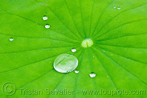 the lotus effect - water droplets on hydrophobe lotus leaf, close-up, dewdrops, droplets, hydrophobic, leaf veins, lotus effect, lotus leaf, nelumbo nucifera, plant, superhydrophobic, superhydrophobicity, tropical, water lily, water repellent