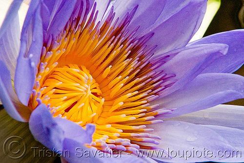lotus flower - close-up, close-up, conservatory of flowers, floating, lotus flower, macro, plant, purple, tropical, water lily, yellow