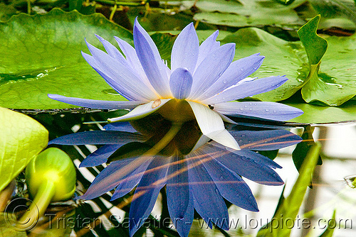 lotus flower - water lily, conservatory of flowers, floating, lotus flower, plant, reflection, tropical, water lily