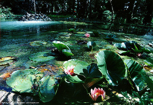 lotus flowers and leaves on pond, château du rouët, leaves, lotus flowers, plant, pond, water lily