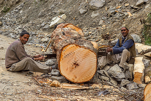 lumberjacks using a two-man crosscut saw (india), logging, lumberjacks, men, sawing, sitting, tree log, trunk, two-man crosscut saw, workers, working