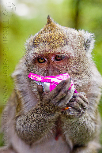 macaque monkey eating junk food, crab-eating macaque, indonesia, junk food, macaca fascicularis, macaque monkey, plastic bag, plastic packaging, plastic trash, single-use plastics, wild, wildlife