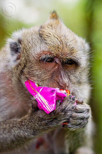 macaque monkey eating junk food, crab-eating macaque, female, java, junk food, macaca fascicularis, macaque monkey, plastic bag, plastic packaging, wild, wildlife