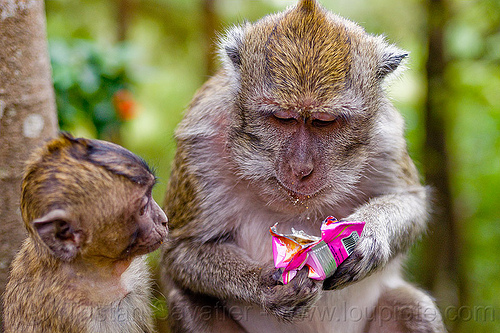 macaque monkey eating junk food, crab-eating macaque, female, java, junk food, juvenile, learning, macaca fascicularis, macaque monkeys, macaques, plastic bag, plastic packaging, teaching, wild, wildlife