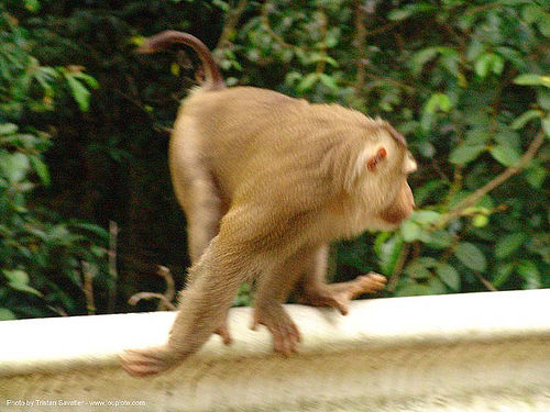macaque monkey on road railing (thailand), macaque monkey, thailand, wildlife