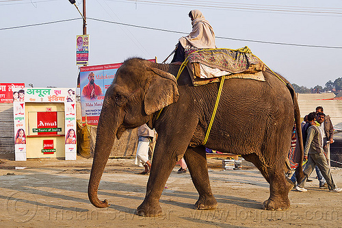 mahout riding his elephant (india), asian elephant, elephant riding, kumbha mela, maha kumbh mela, mahout, men, street
