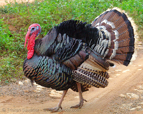 turkey bird, caruncle, courtship, domestic turkey, galliformes, hen, meleagris gallopavo, poultry, red, turkey bird