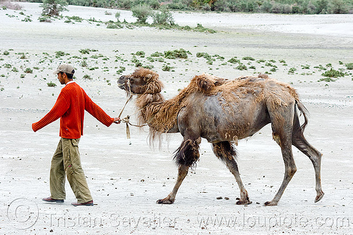 man and camel - nubra valley - ladakh (india), camel herd, desert, double hump camel, hundar, ladakh, nubra valley, sand