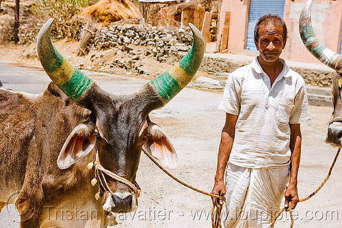 man and kankrej cow with big horns - ox (india), cows, farmer, india, kankrej cow, man, oxes, painted, road, ropes, udaipur