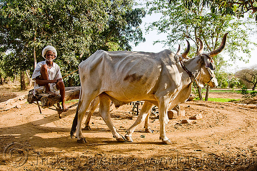 man and kankrej oxes operating a water well (india), chain pump, india, kankrej cow, old man, oxes, water pump, water well, well pump, working animals