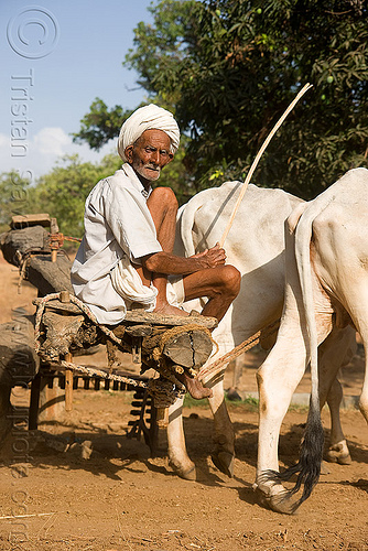 man and oxes operating a water well - near udaipur (india), chain pump, cows, india, old man, oxes, water pump, water well, well pump, working animals