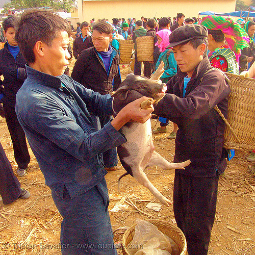 man checking piglet at the market - vietnam, hill tribes, indigenous, men, mèo vạc, people, pig, small