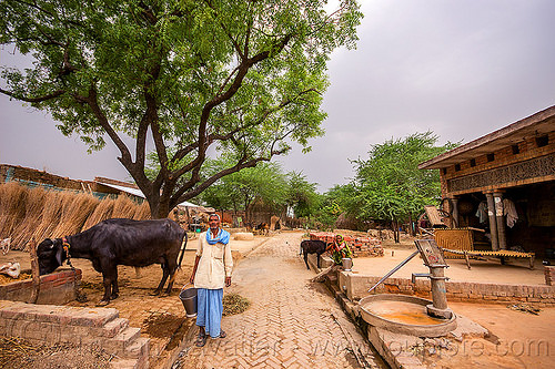 man feeding his water buffalo in indian village, brick pavement, bucket, cow, hand pump, india, khoaja phool, tree, village, water buffalo, water pump, woman, खोअजा फूल
