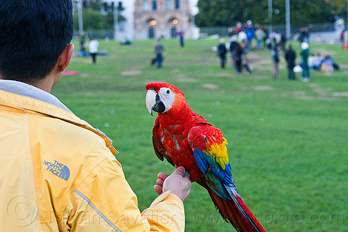 man holding scarlet macaw parrot, ara macao, bird, dolores park, man, parrot, psittacidae, red, scarlet macaw