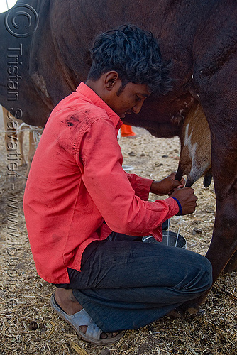 man milking cow (india), ajanta, cow, farmer, man, milking