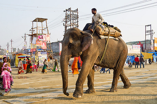 man riding his elephant at kumbh mela 2013 (india), asian elephant, elephant riding, kumbha mela, maha kumbh mela, mahout, man, street