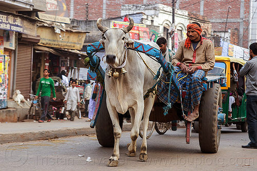 man riding ox cart on street (india), bells, carriage, collar, cow, men, ox cart, sitting, street, varanasi