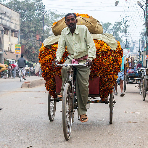 man transporting load of marigold flower on freight tricycle (india), bag, bearer, cargo, cargo tricycle, cargo trike, flowers, freight trike, heavy, moving, offerings, orange color, orange flowers, people, riding, street, transport, transportation, varanasi