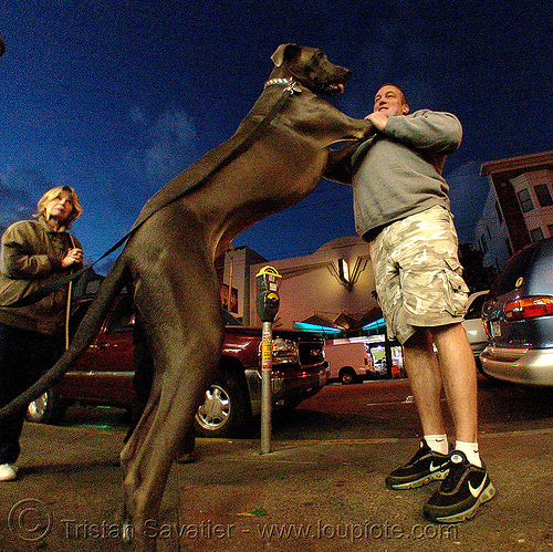 man with his great dane, big dog, fisheye, great dane, man