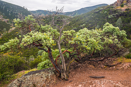 manzanita shrub - arctostaphylos, arctostaphylos, hiking, manzanita, pinnacles national park, plant, rock formations, shrub