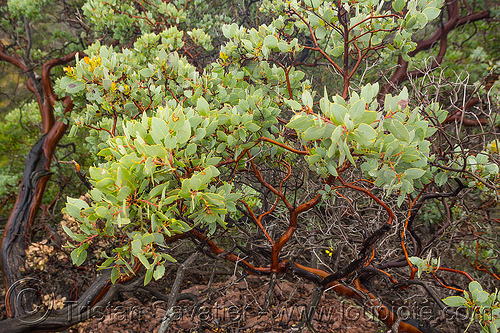 manzanita shrub, arctostaphylos, branches, leaves, manzanita, pinnacles national park, plant, rock formations, shrub
