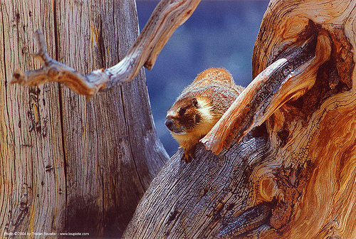 marmot on a dead tree, marmot, tree, wildlife, wood