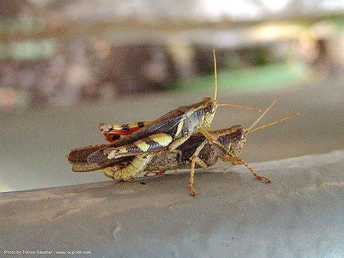 mating grasshoppers (thailand), close-up, criquets, grasshoppers, insects, mating, thailand, wildlife