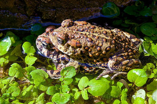 mating toads - anaxyrus boreas halophilus (california toads), amphibian, anaxyrus boreas halophilus, california toads, darwin falls, death valley, mating, plants, pond, western toads, wildlife