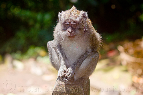 meditating macaque monkey sitting on pole, bali, eyes closed, forest, indonesia, macaque monkey, meditating, meditation, rainforest, sitting, wild monkey, wildlife