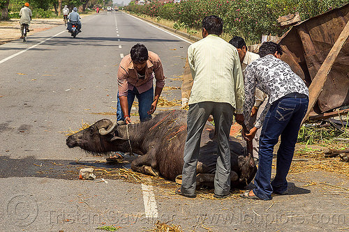 men helping injured water buffalo after truck accident (india), cow, crash, hay, india, injured, lying down, men, road, traffic accident, truck accident, water buffalo