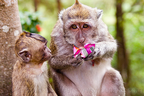 monkey eating junk food, baby, crab-eating macaque, female, java, junk food, juvenile, learning, macaca fascicularis, macaque monkeys, macaques, plastic bag, plastic packaging, teaching, wild, wildlife