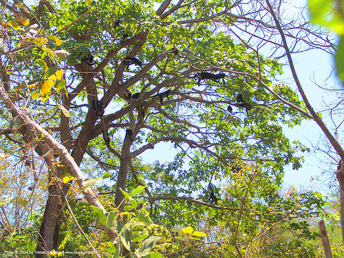 mono monkeys in tree, costa rica, mono monkeys, tree, wildlife