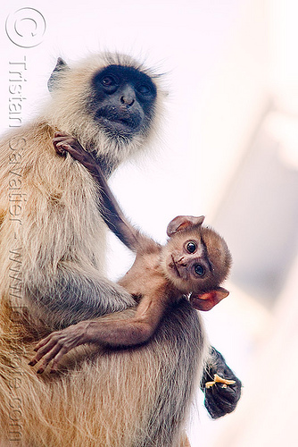 female and baby monkey - langur monkeys - udaipur (india), baby monkey, black-faced monkeys, ears, gray langur, semnopithecus entellus, udaipur, wildlife
