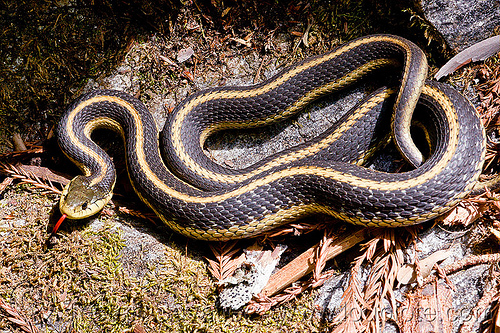 garter snake - thamnophis elegans, black, coiled, colubrid, curled, lateralis, reptile, striped, strips, terrestris, tongue, trekking, wildlife, yellow
